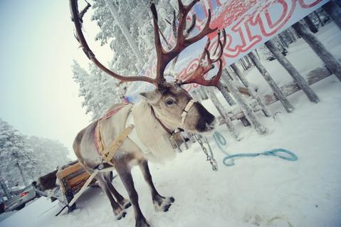 Lapland deer