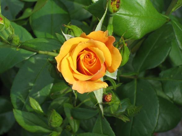 rose-1390711.jpg