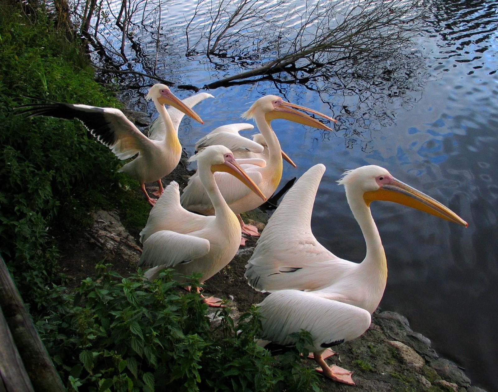 zofo-2014-pelikanid-foto-aleksander-kuzovlev