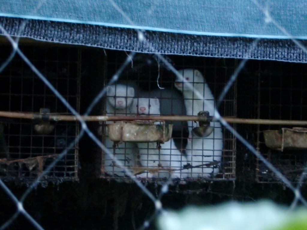 Viimane naaritsafarm sulges uksed! Jaapanis suleti viimane karusloomafarm