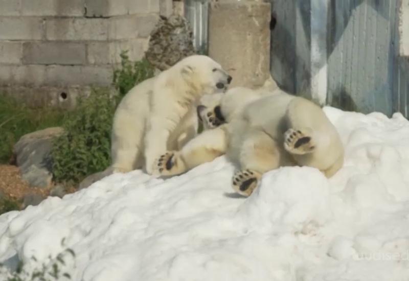 VIDEO! Nunnuhoiatus! Lõuna-Lapimaa loomaaed kostitas kuumal suvepäeval jääkarusid lumekoormatega