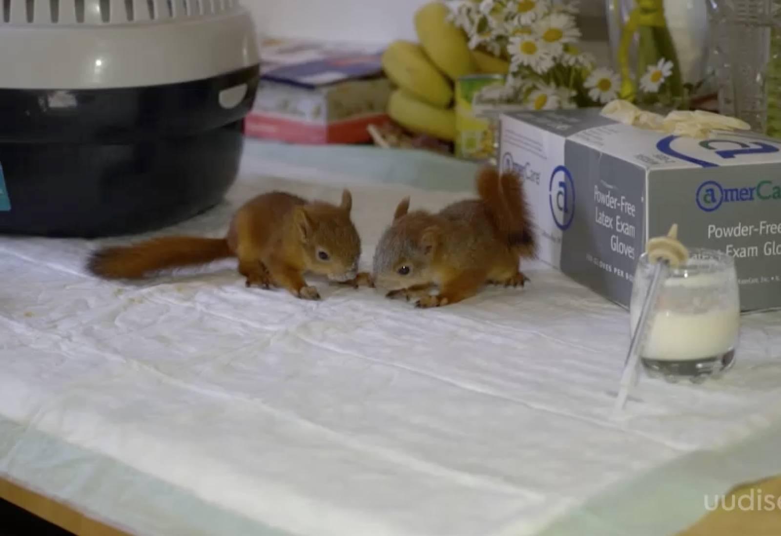 VIDEO! Ettevaatust, oravapojale mõjub lehmapiim surmavalt! Kui leiad oravapoja, võta ühendust metsloomaühinguga!
