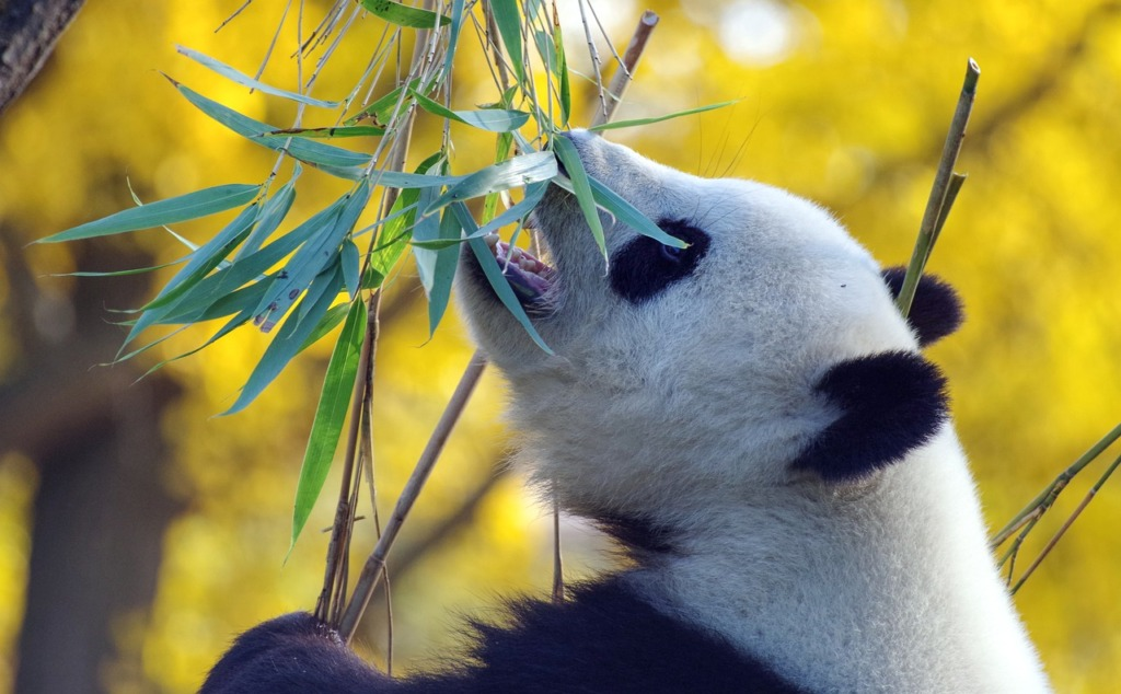 panda.Pixabay