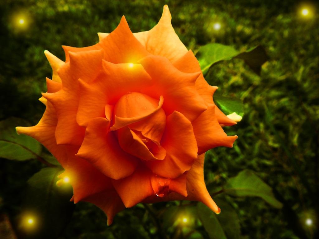 Rose.Pixabay