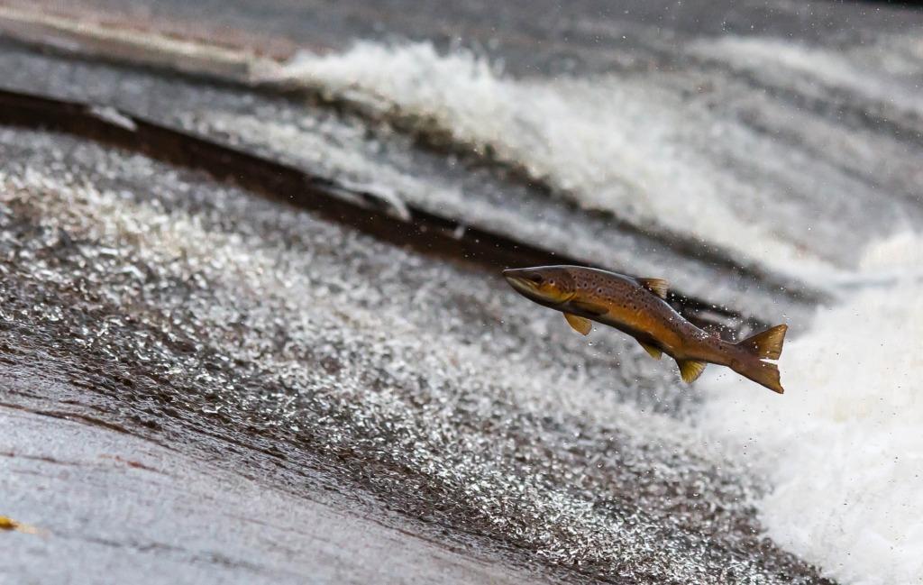 Salmon.Pixabay