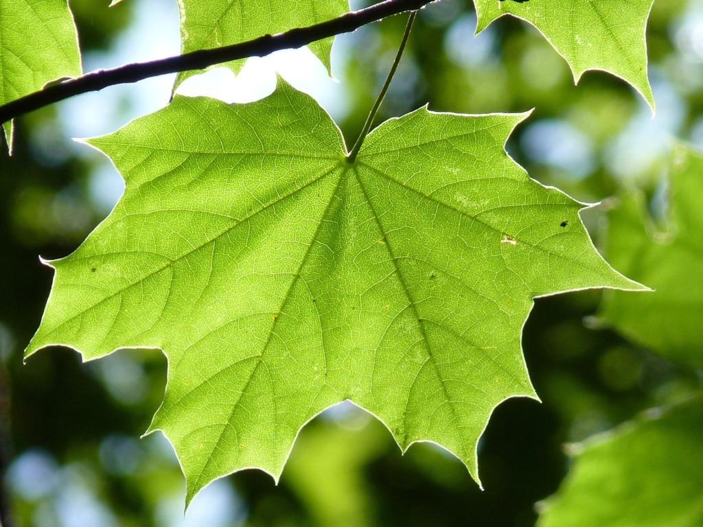 vahtra puu.Pixabay