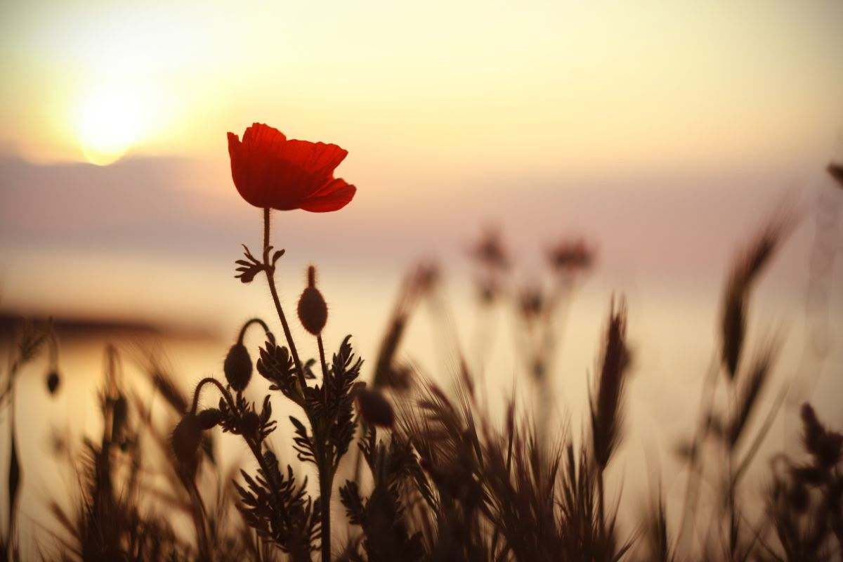 Beautiful,Red,Poppy,(papaver),Flower,At,Sunset.