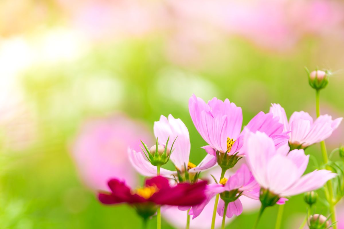 Pink,And,White,Cosmos,Flowers,In,Garden,,beautiful,Flower